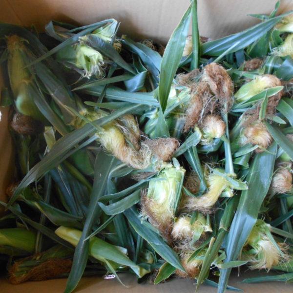 長野県上水内郡信濃町 竹内建設さんのトウモロコシ計100本入荷 アップガレージ長野 ㈱DMC