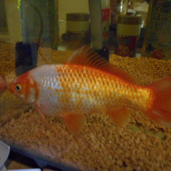 最近全く餌を食べません!!金魚すくいの魚成長止まった!! 16cm